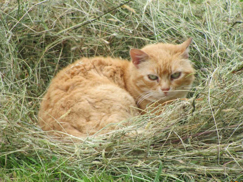 Cat laying in hay